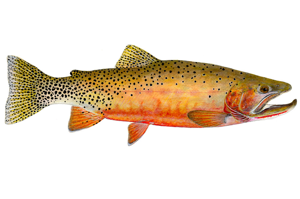 West Slope Cutthroat Trout