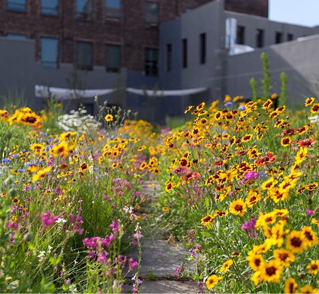 Take a walk with us through this colorful meadow designed by @brooklyngrange for @vice media headquarters, and head to our website for a full spread of photos!  #gardensofnewyork #urbangarden #urbanmeadow #brooklyngrange #rooftopgarden #roofgarden #greenroof #perennials