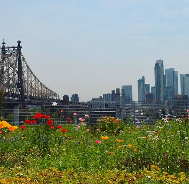 Another meadow in the sky from the brilliant minds at @brooklyngrange - this time at the Tata Innovation Center at Cornell Tech on Roosevelt Island. Feeling especially groovy here with the 59th St. Bridge in the background!  #cornelltech #gardensofnewyork #urbangarden #urbanforest #meadow #urbanmeadow #rooftopgarden #rooftopmeadow #feelingroovy #59thstbridge