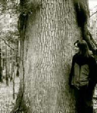 Large oak in Charleville Woods (photo: Janice Fuller)