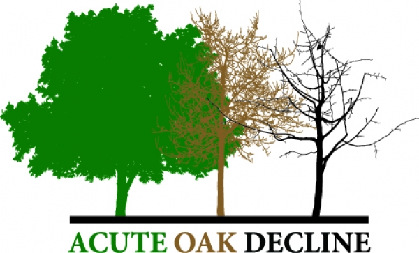 acute-oak-decline.jpg
