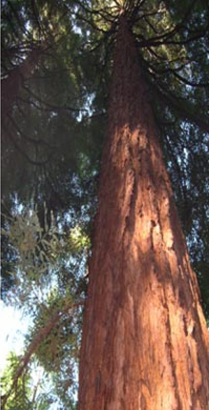giant-redwood.jpg