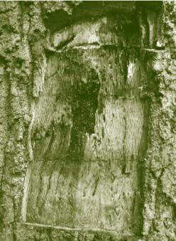 Figure 4: Cavity below the bark