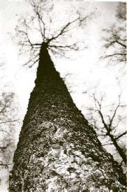 silver-birch-group.jpg