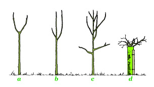 Figure 2 : Pruning candidates: (a) forked, (b) competing leader and (c) steep and large branches. The form of (d) is so bad that it requires stumping rather than pruning (see text).