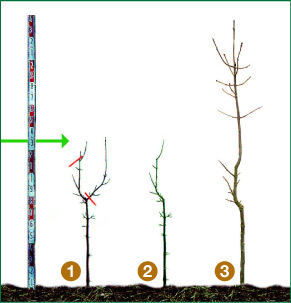 Figure 1  : Improvement of a forked ash:   1  before pruning,  2  immediately after pruning and  3  two years later