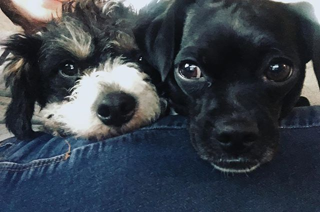 Children? These are mine. . . . . . . #dogs #dogstagram #dogsofinstagram #cuties #love #happy #writersofinstagram #writer #author #authorsofinstagram #dogmom #dogbabies #sweeties