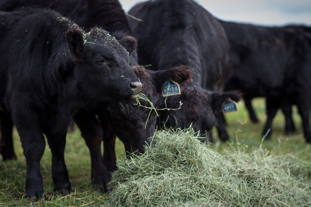 We're busy gathering the herd. - Check back for more information on our Low Line Angus.