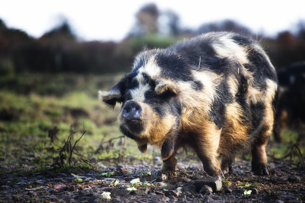 We're busy gathering the swine. - Check back later for more information on our Kunekune pigs.