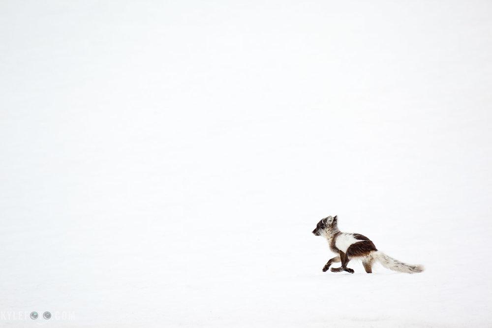 arcticfox-1.jpg