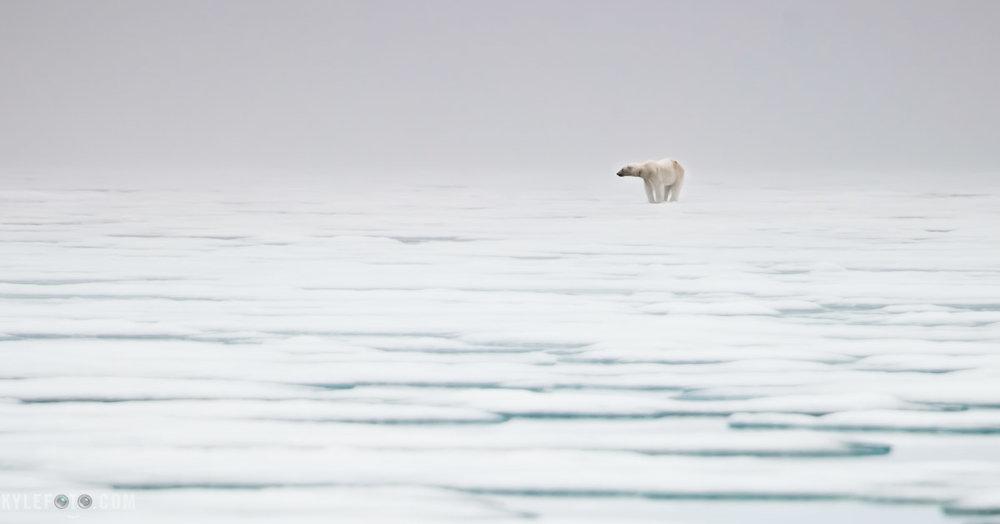 polar-bear-1.jpg