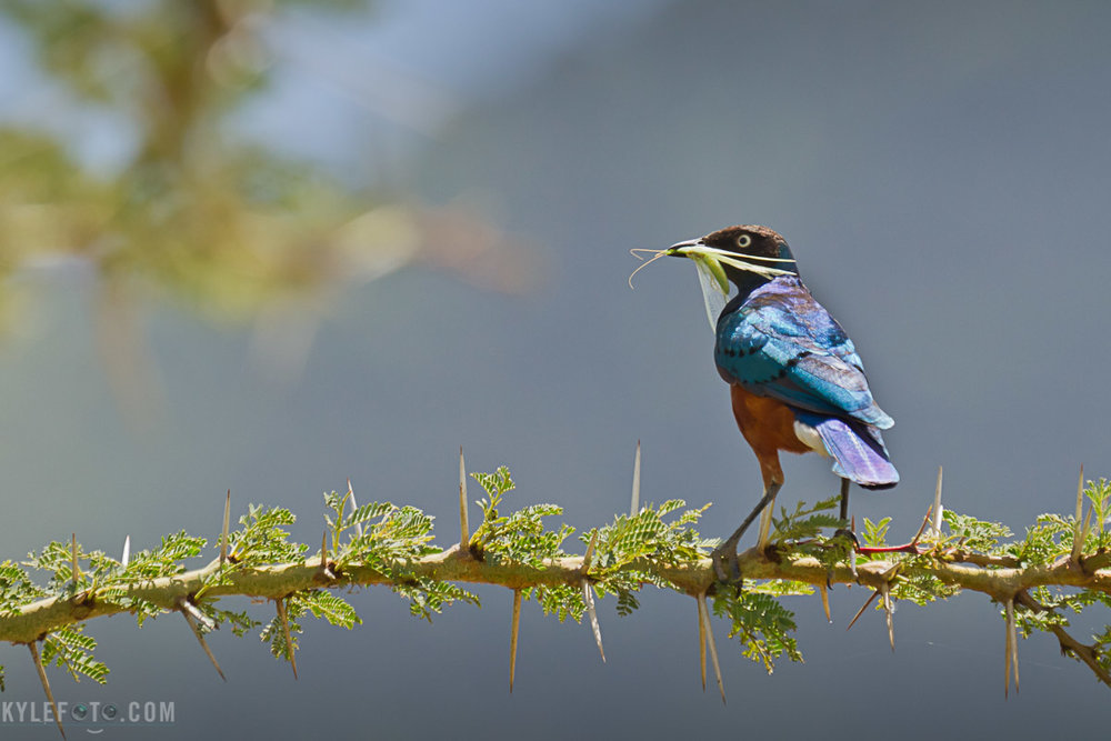 superb-starling-3.jpg