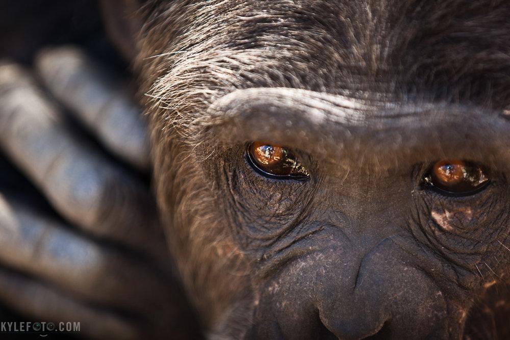 chimp-9145.jpg