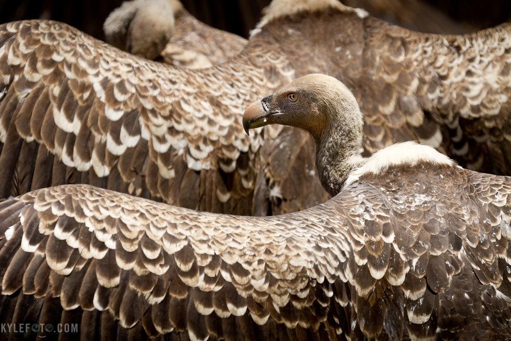 vulture-1.jpg
