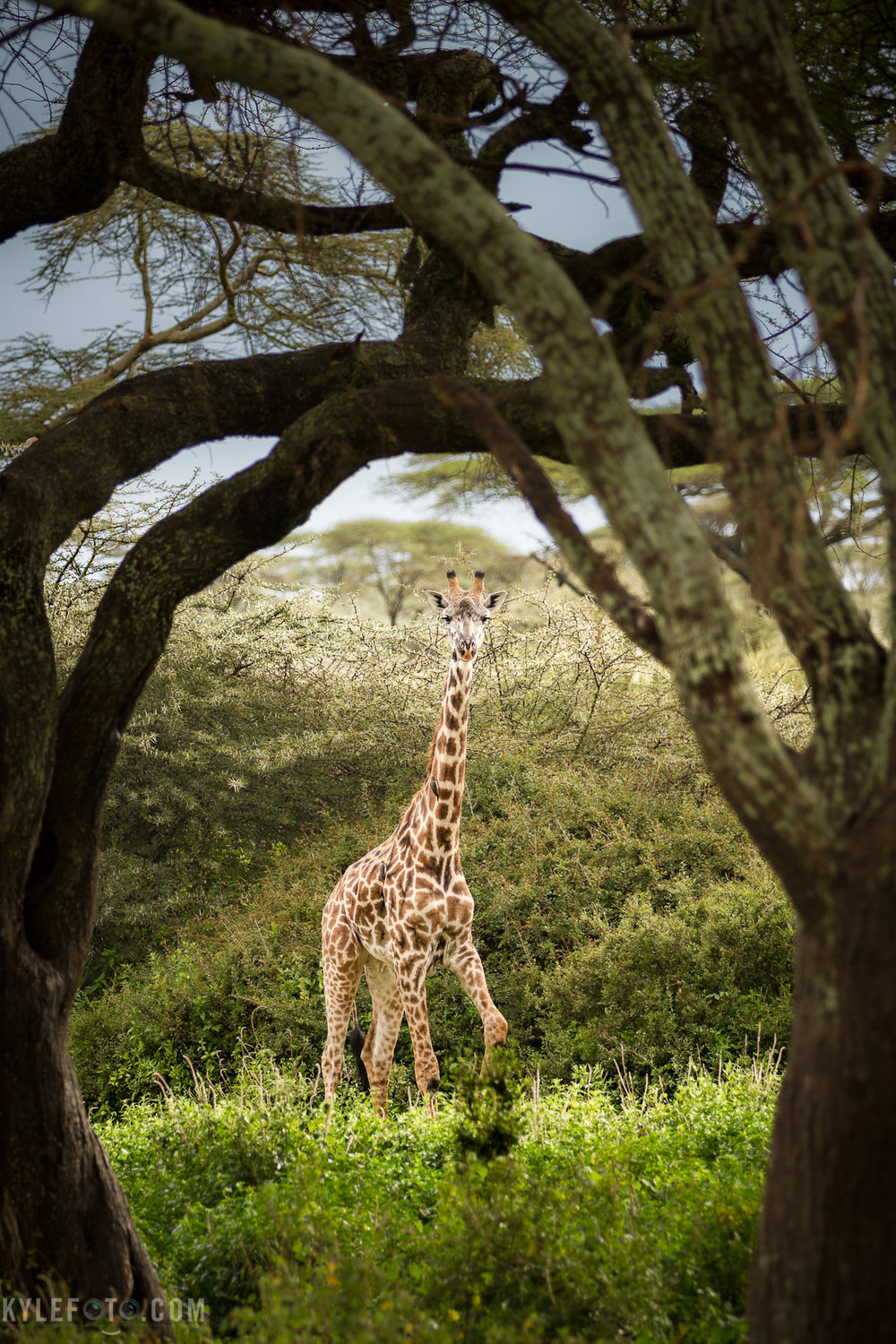 wildlife-wed-giraffe-11.jpg