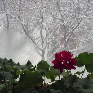 Geranium in winter
