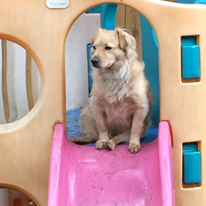 Dog on a slide Doggie Daycare The Laughing Tail Vancouver Washington