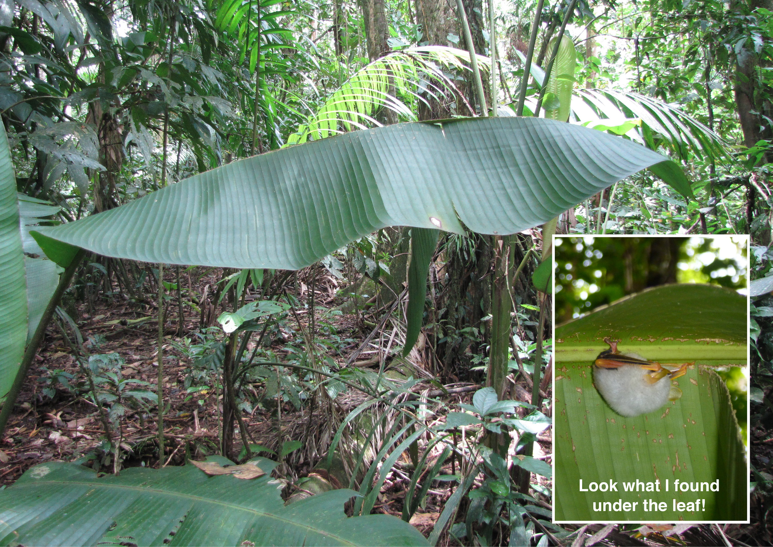 Leaf tent and a roosting Honduran White Bat - Le Salva Biological Research Station, Costa Rica