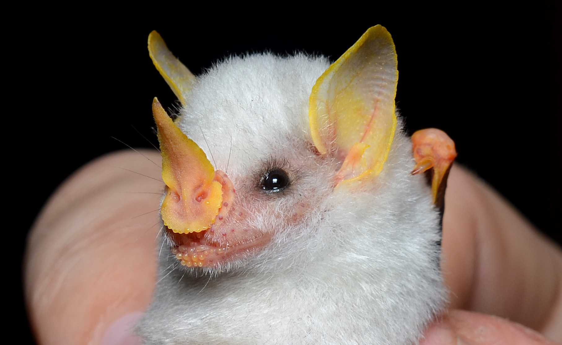 Ectophylla alba By Geoff Gallice from Gainesville, FL, USA (Honduran tent bat  Uploaded by Leyo) [CC-BY-2.0 (http://creativecommons.org/licenses/by/2.0)], via Wikimedia Commons