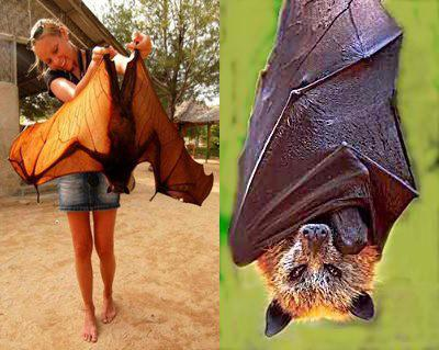 Giant golden-crowned flying fox has a wingspan of 1.7m (5 ft 7 in)