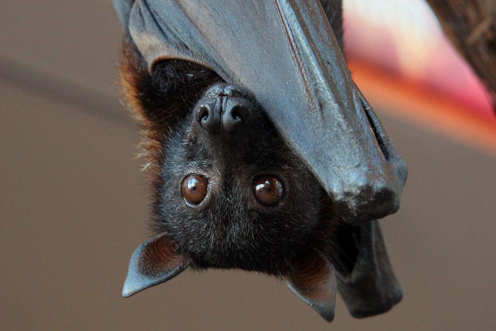 Malayan-flying-fox-Pteropus-vampyrus-Andrea-Janda.jpg