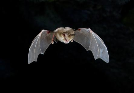 Mehely's horseshoe bat -Rhinolophus mehelyi Photo: F. C. Robiller