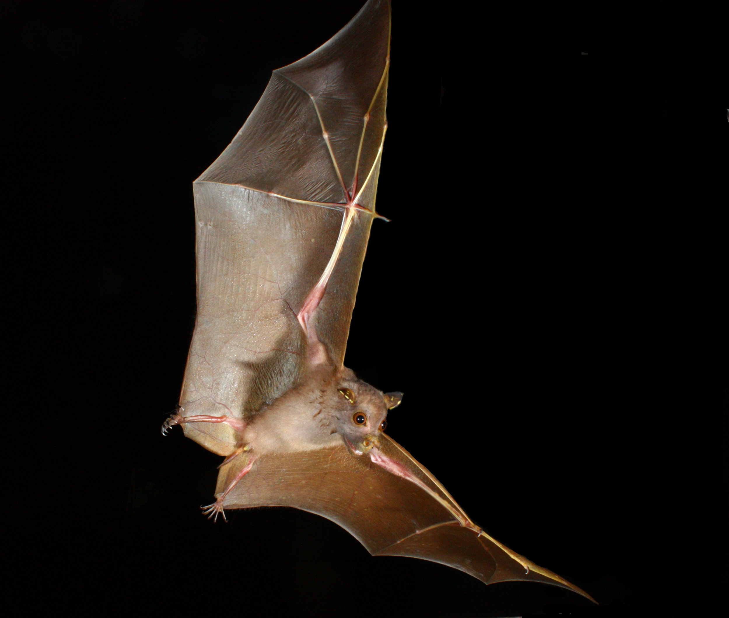 Eastern Tube-nosed Bat - Photo: Micheal Pennay