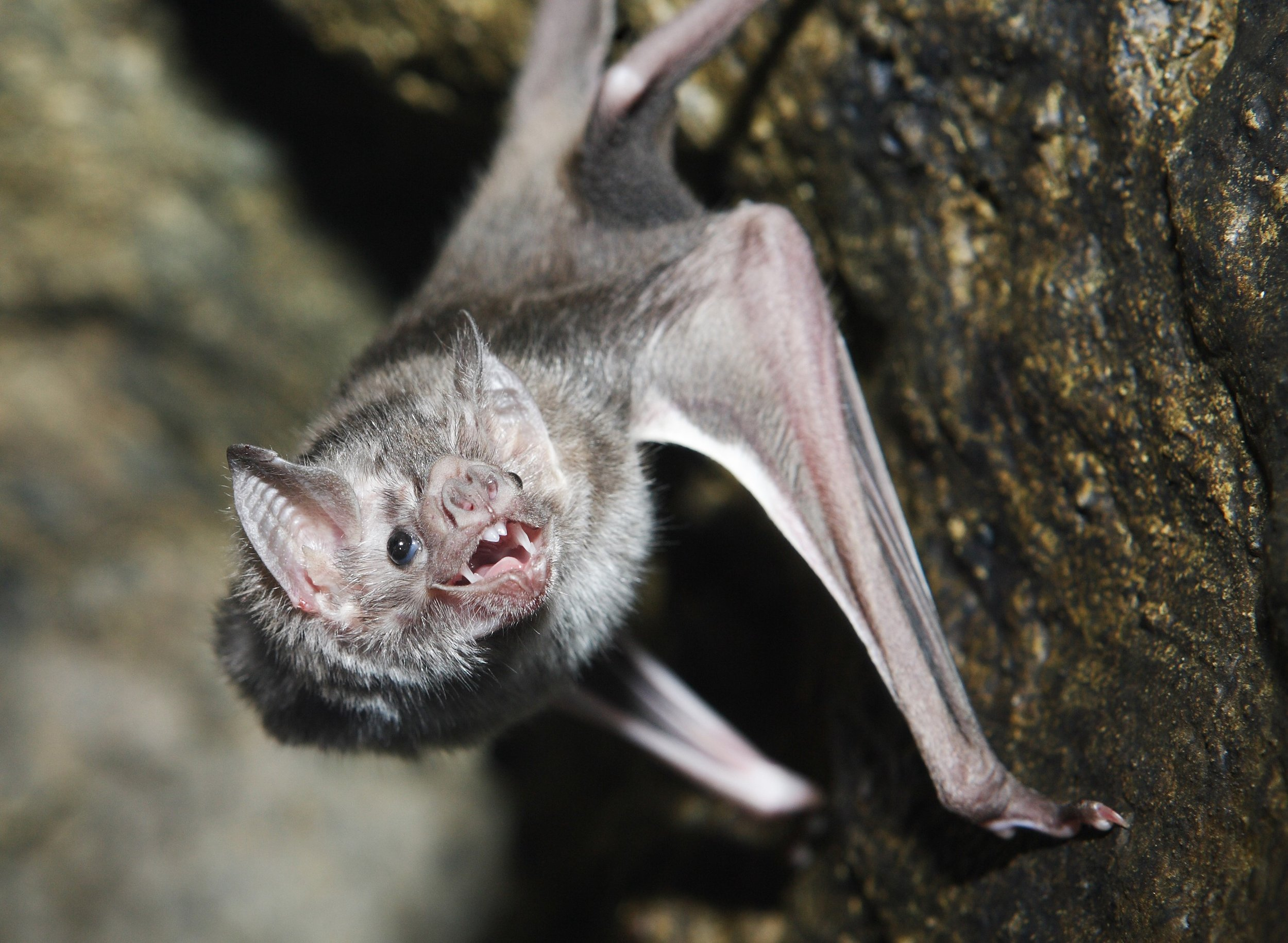 Vampire bats use heat sensors to identify a spot with blood vessels near the surface of the skin to bite. They then create a small incision with their teeth and lap up blood from the wound, just like a kitten!