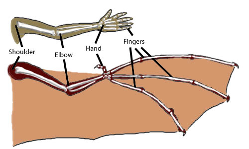 Did you know that humans, birds, and bats have the exact same types of bones in their forearm? The bones look different as they have been modified to have different functions.