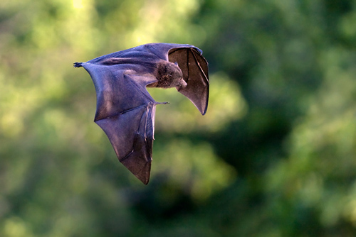 Christmas Island Flying-fox