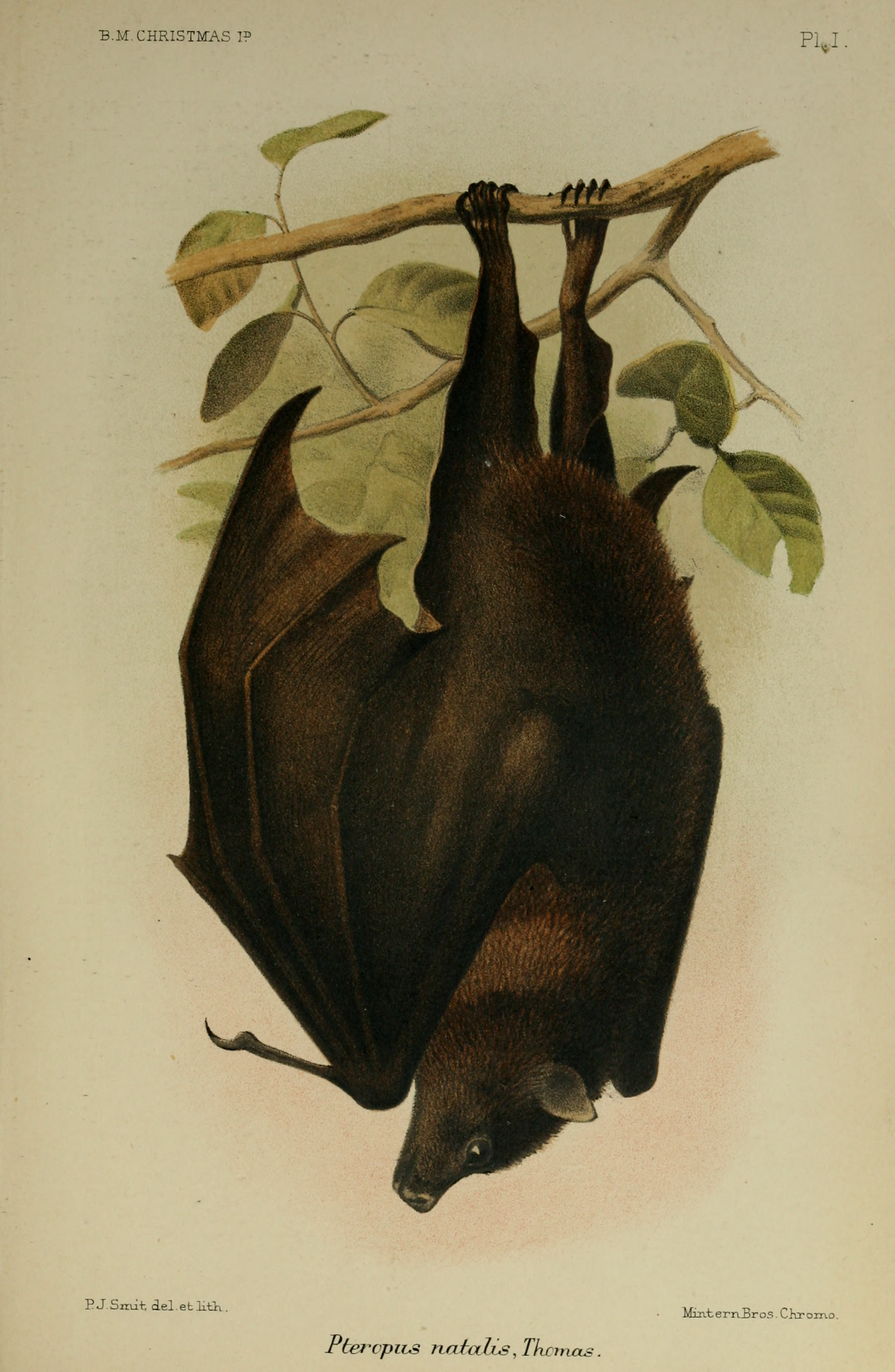 A Monograph of the Chirstmas Island Flying-fox - Andrews, C.W. (1900), British Museum of Natural History, London