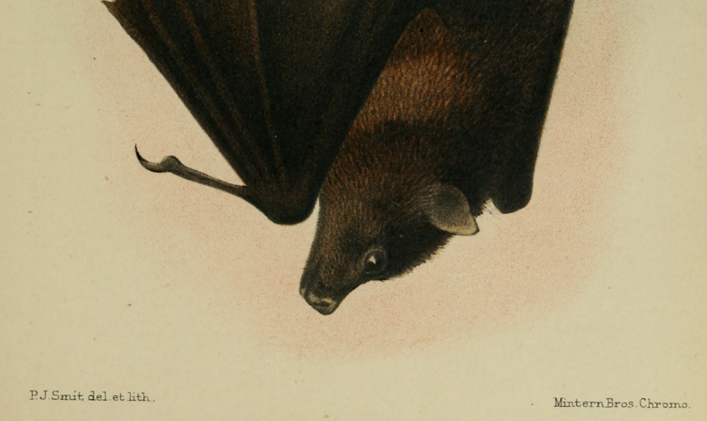 ChristmasIslandFlyingFox-Andrews-C.W.-1900.-A-Monograph-of-Christmas-Island-Indian-Ocean.-British-Museum-of-Natural-History-London.1-e1411499270845.png