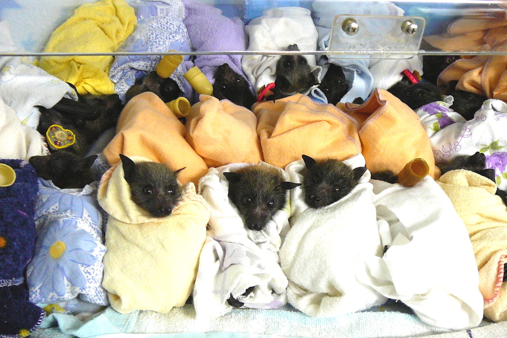 Crib full of abandoned babies rescued by Wildcare Australia in care at The Bat Hospital. Credit: Wcawikinfo