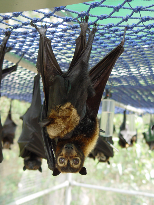 Spectacled flying-fox ( Pteropus conspicillatus ), mother with baby at the  Tolga Bat Hospital , Australia.  Photo:  Mnolf