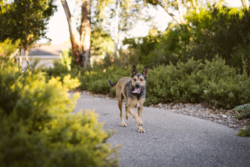 hound_in_hand_adelaide_pet_photography_hugo