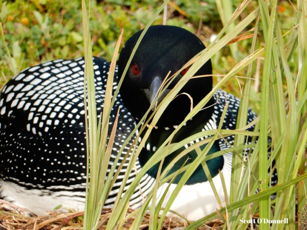 Nesting Common Loon