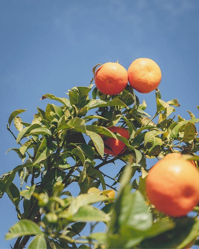 En av de charmigare sidorna av Sineu: Gator kantade av apelsinträd, fulla med frukt 🍊🍊🍊Det bästa är apelsinträdet som inklämt mellan två uteserveringar sticker upp mellan två soltak. Skönt ändå, att de bara bestämt sig för att bygga runt, utan att hugga ner allt som är i vägen. Hoppas ni har en härlig söndag alla!