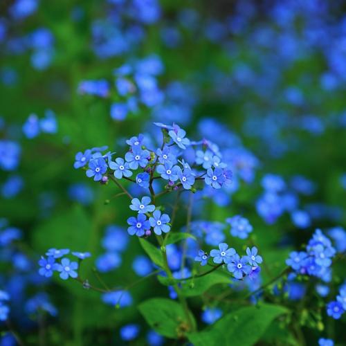 Brunnera -Kaukasisch vergeet-me-nietje  Hoogte: 30 - 40 cm  Kleur: Lichtblauw  Wintergroen: Nee  Bloeiperiode: April - Mei