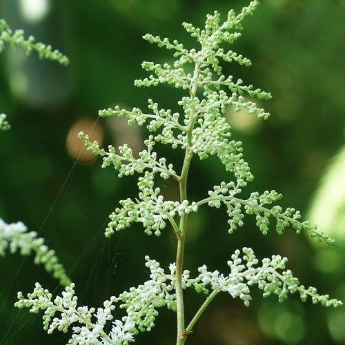 Aruncus dioicus - Geitenbaard  Hoogte: 140 - 160 cm  Kleur: Wit  Wintergroen: Nee  Bloeiperiode: Mei - September