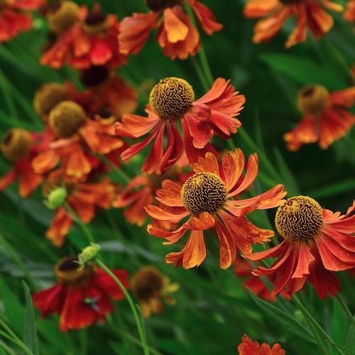 Helenium 'Moerheim Beauty' - Zonnekruid  Hoogte: 50 - 70 cm  Kleur: Meerdere mogelijkheden  Wintergroen: Nee  Bloeiperiode: Juli - September