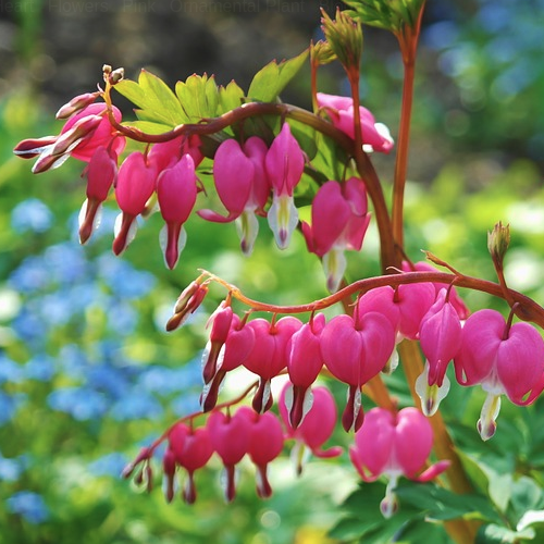 Dicentra -Gebroken hartje  Hoogte: 60 - 100 cm  Kleur: Roze  Wintergroen: Nee  Bloeiperiode: April - Mei