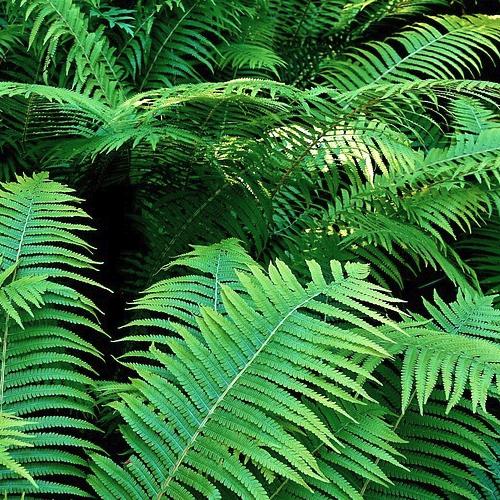 Polystichum -Varen  Hoogte: 50 - 60 cm  Kleur: Niet van toepassing  Wintergroen: Ja  Bloeiperiode: Niet van toepassing
