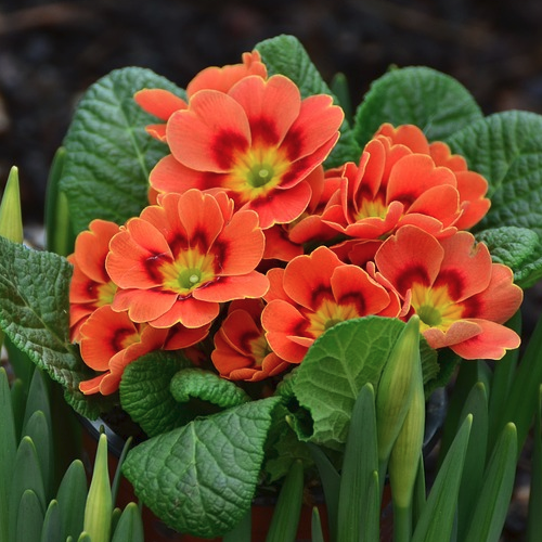 Primula japonica - Primula  Hoogte: 30 - 40  Kleur: Roze  Wintergroen: Nee  Bloeiperiode: April - Mei
