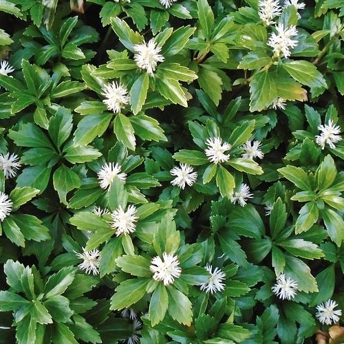 Pachysandra terminalis - Schaduwkruid  Hoogte: 10 - 15 cm  Kleur: Wit  Wintergroen: Ja  Bloeiperiode: Maart - April