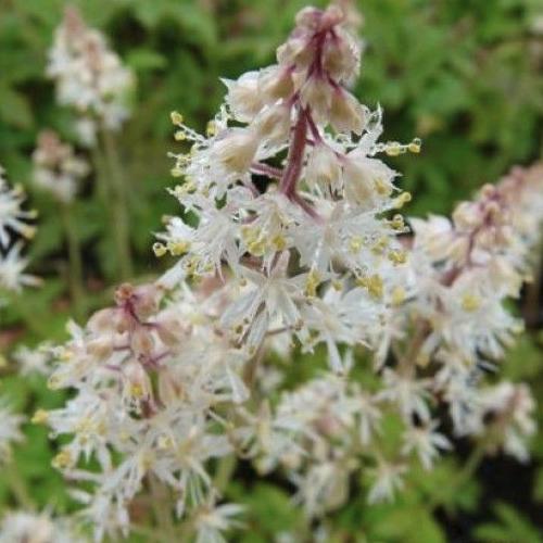Tiarella cordifolia - Schuimbloem  Hoogte: 15 - 20 cm  Kleur: Roze  Wintergroen: Nee  Bloeiperiode: April - Mei