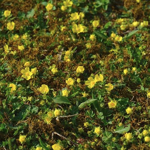 Waldsteinia ternata - Goudaardbei  Hoogte: 5 - 10 cm  Kleur: Geel  Wintergroen: Ja  Bloeiperiode: April - Mei