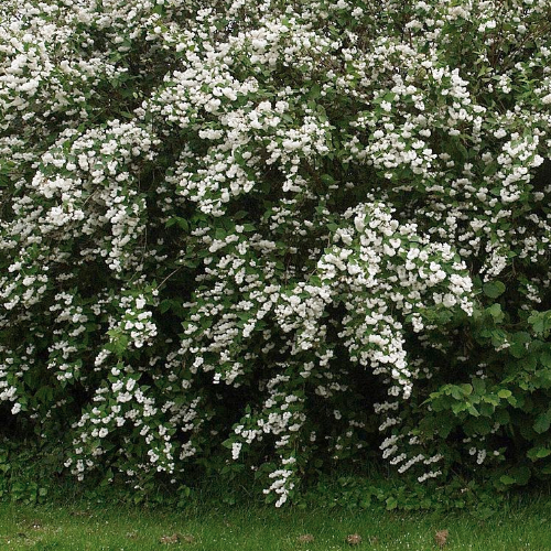 Deutzia - Bruidsbloem  Hoogte: 60 - 80 cm  Kleur: Wit  Wintergroen: Nee  Bloeiperiode: Gehele seizoen