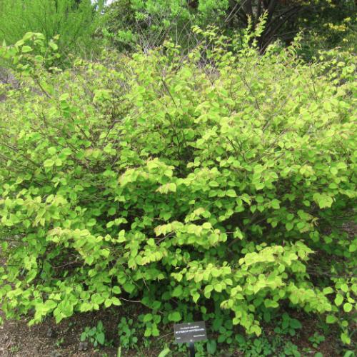 Corylopsis - struikhazelaar  Hoogte: 100 - 120 cm  Kleur: Geel  Wintergroen: Nee  Bloeiperiode: Maart - April