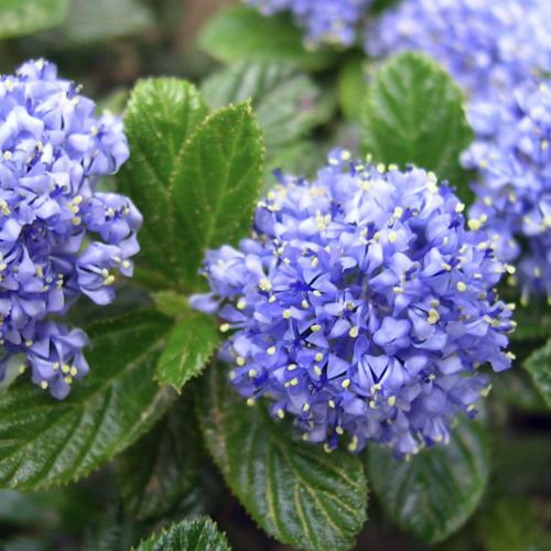 Ceanothus - Herfstsering  Hoogte: 160 - 200 cm  Kleur: Blauw   Wintergroen: Nee  Bloeiperiode: Mei - Juni