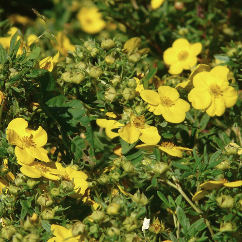 Potentilla - Heesterganzerik  Hoogte: 40 - 100 cm  Kleur: Geel  Wintergroen: Nee  Bloeiperiode: Mei - Oktober